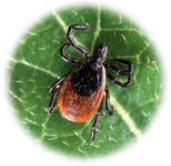 tique / Tick - scapularis