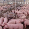 Porcs - ferme / Swine - farm